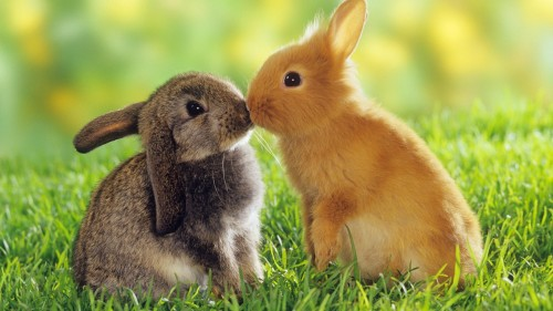 cute-bunnies-500x281